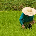 working in the rice field langkawi