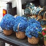 hydrangeas and lightship baskets