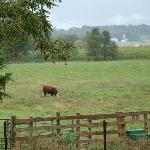 """our """"friends""""--from the back deck.  We woke everyday to the sounds of cows """"moo-ing""""!  It was gr"""