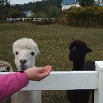 Guests may feed the alpacas here.