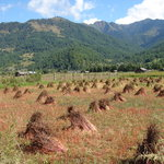 Buck Wheat Field in Bhumthang