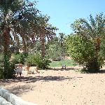 Oryx & desert gazelle in the resort