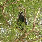 Colobus Monkey, endemic to the area.