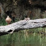 Mallards- Quiet Waters