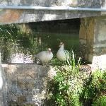 Ducks under the bridge