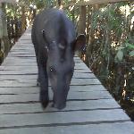 what's a tapir?