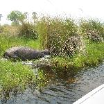 Hippo on the river