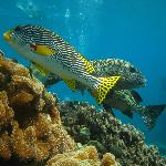 Sweet Lips at Hastings Reef