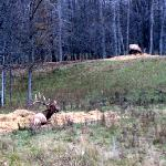 Boss Elk watching the Sparring match