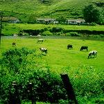 Cattles eating grass in munnar