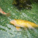 Huge Koi in PJ's Fish Pond