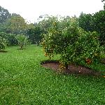 Orange Tree in Garden