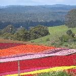 Tulip Farm near Boat Harbour