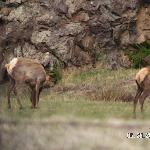Highly Paid Tourist Elk