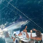 giant marlin