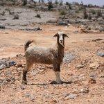 Mountain Goat - Thats Lamb Chop