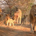 Inquisitive lions