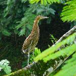 A tiger heron on the grounds