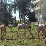 grazing horses and camels near to hotel