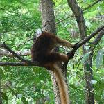 lemurien a Nosy Komba