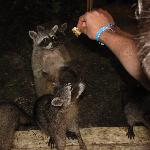 Feeding the Racoons in the evening outside the buffet.