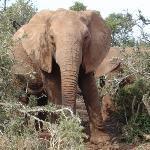 Elefantes del Krueger, imposibles no verlos (y no escucharlos)