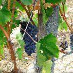 Grapes for Harvest
