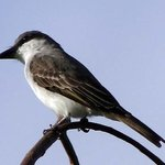 Grey Kingbird ( Pee whitter)