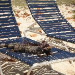 iguanas like the chairs