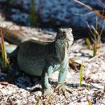 iguana on little water cay