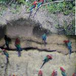MWC- Macaws at clay lick
