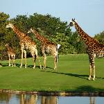 Giraffe family - Golf in the Wild