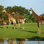 Giraffe family - Golf in the Wild