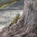 Green iguana posing