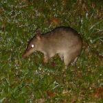 Bandicoot seen in the garden at night