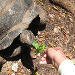 feeding the huge tortoise