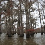 Cypress at the Atchafalaya