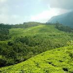 Lush green Munnar
