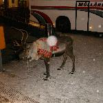 reindeer who brings the guy to the gala dinner