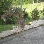 Deer by the patio