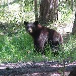 Black Bear sighting while camping at Annett's Mono Village (Summer)