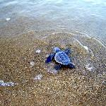 Baby Hatchling Sea Turtle making his way to water
