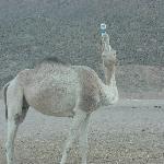 dromadaire dans le desert