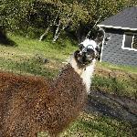 Barrack O'Llama
