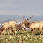 Elk at Pierce Pt. trail