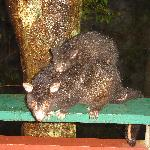 Possum with baby