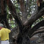Tourists and Banyan