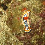 A nudibranch shot while diving in Puerto Galera