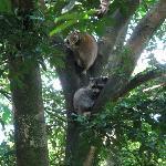 Racoons in Parc des Mamelles