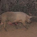 free pig/barbacoa